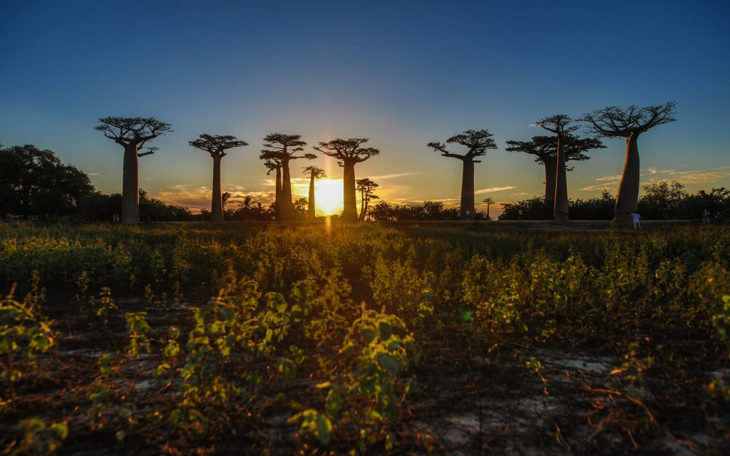 allée baobab